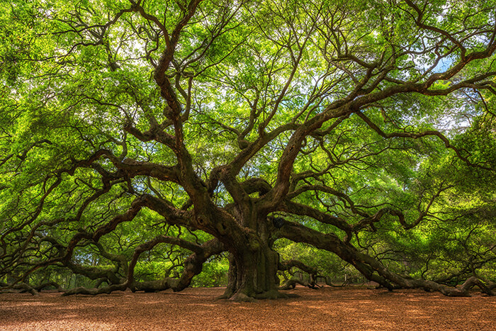 Angle Oak Tree in Johns Island, South Carolina