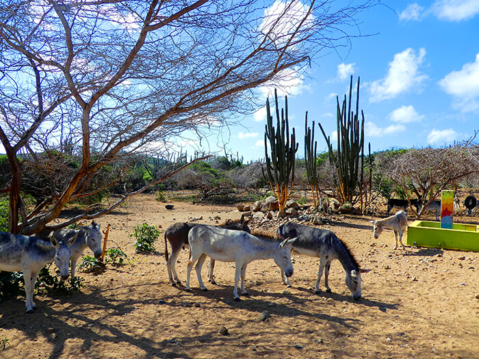 Donkey sanctuary. Aruba Island