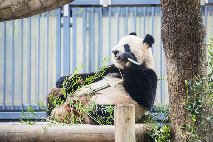 Panda in Ueno zoo