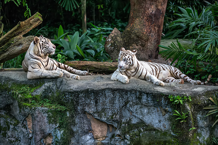 Two white tigers in Singapore zoo