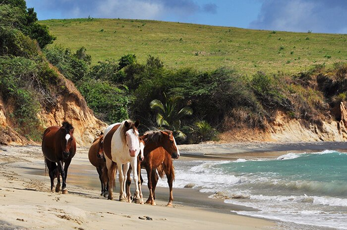 horses on a beach Vieques in Puerto Rico