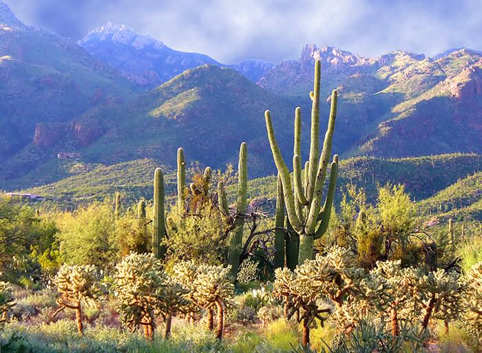 Sabino Canyon Cactus Tucson