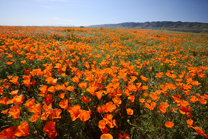 poppy blooming from antelope valley