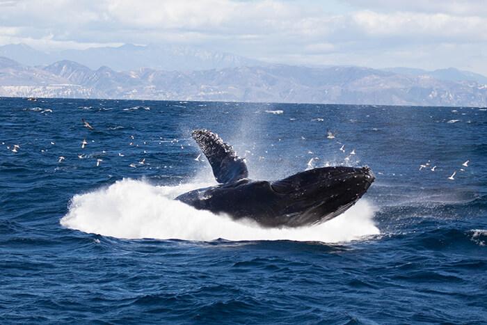 Humpback whale breaching off the coast of Santa Barbara