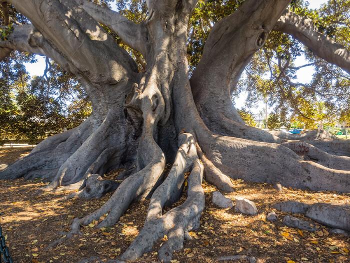 Santa Barbara's Moreton Bay Fig Tree