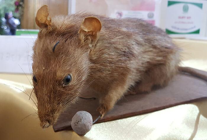 rat Taxidermy