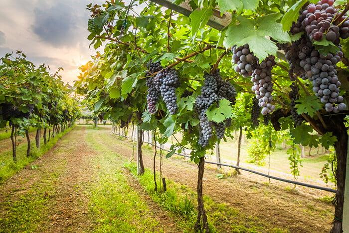 Santa Cruz Vineyards