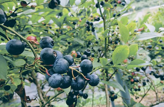 Braddock Blueberries