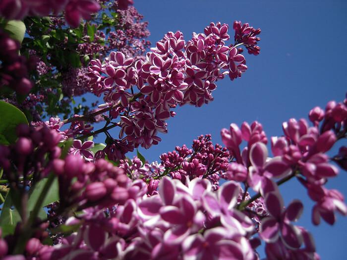 Rochester Lilac Festival