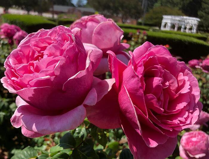 Fayetteville Rose Garden