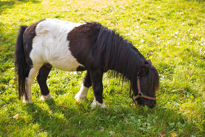 Quicksilver Miniature Horse Ranch