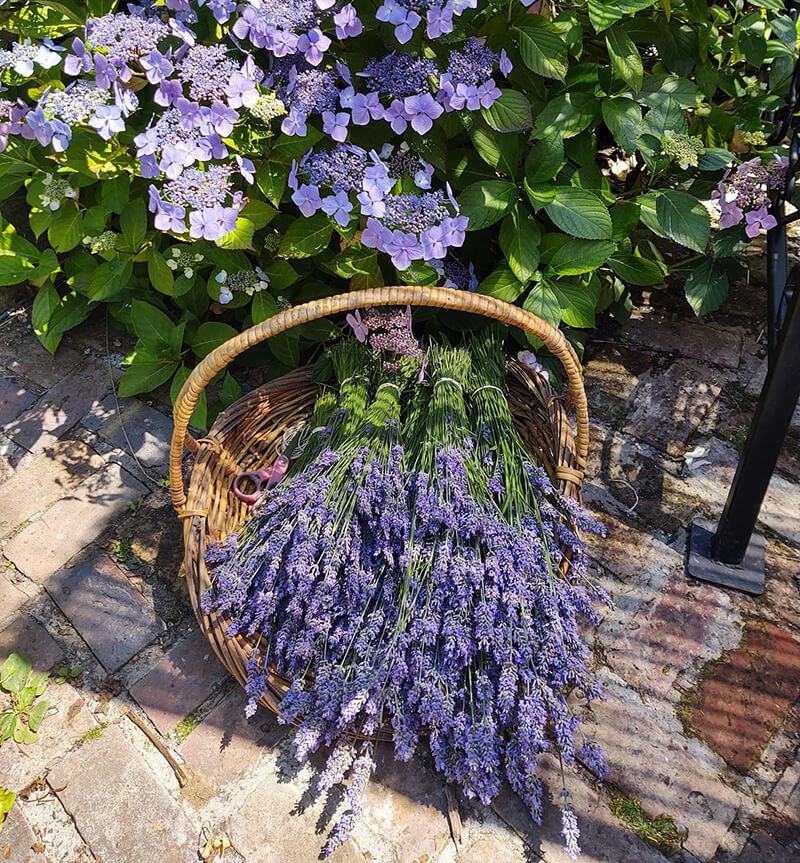 Painted Lady Lavender Farm